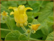 Thladiantha