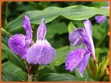 Ingwerorchidee