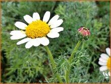 Kreisblume