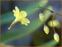 Scheinelfenblume