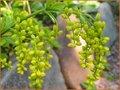 Chiastophyllum