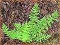 Woodsia