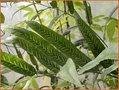 Bambusfarn