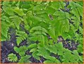 Eichenfarn-(Gymnocarpium)