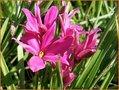 Grasstern-(Rhodoxis)