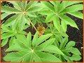Reispapierbaum