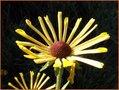 Sonnenhut-(Rudbeckia)