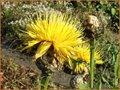 Waidflockenblume
