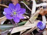 Hepatica nobilis | Leverbloempje