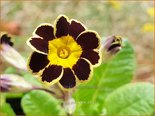 Primula 'Gold Lace' | Aurikel, Sleutelbloem | Aurikel
