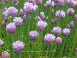 Allium schoenoprasum 'Curly Mauve'   Bieslook, Look   Schnittlauch