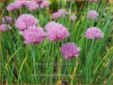 Allium schoenoprasum 'Rising Star' | Bieslook, Look | Schnittlauch