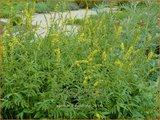 Agrimonia eupatoria | Agrimonie | Kleiner Odermennig