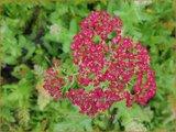 Achillea millefolium 'New Vintage Red' | Duizendblad | Gewöhnliche Schafgarbe