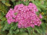 Achillea millefolium 'New Vintage Rose' | Duizendblad | Gewöhnliche Schafgarbe