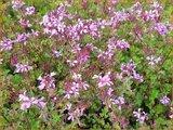 Pelargonium 'Pinki Pinks'_6