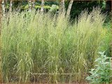 Calamagrostis acutiflora 'Eldorado' | Struisriet