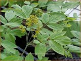 Caulophyllum thalictroides   Blauwe zilverkaars, Vrouwenwortel   Indianische Blaubeere