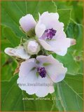 Althaea officinalis | Heemst