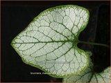 Brunnera macrophylla 'Silver Spear' | Kaukasische vergeet-mij-nietje, Vast vergeet-mij-nietje