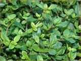 Thymus pulegioides | Grote tijm, Tijm