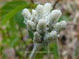 Antennaria plantaginifolia | Weegbreerozenkransje, Rozenkransje