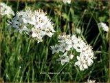 Allium tuberosum | Knoflookbieslook, Chinese bieslook, Look, Sierui