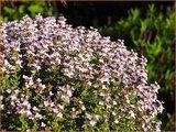 Thymus vulgaris   Kruiptijm, Tijm