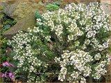 Thymus vulgaris 'Pinewood' | Kruiptijm, Tijm