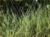 Carex brunnea 'Albolineata' | Zegge