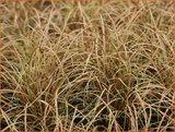 Carex comans 'Bronco' | Zegge