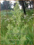 Artemisia dracunculus | Russische dragon, Dragon, Drakenkruid