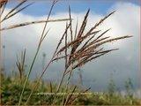 Andropogon gerardii 'Prairie Sommer' | Baardgras