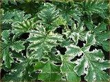 Acanthus 'Tasmanian Angel' | Stekelige berenklauw