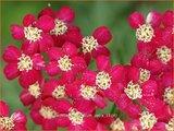 Achillea millefolium 'Petra' | Duizendblad