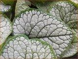 Brunnera macrophylla 'Sea Heart'   Kaukasische vergeet-mij-nietje