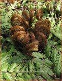 Dryopteris buschiana