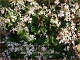 Saxifraga cortusifolia 'Cheap Confections'   Steenbreek