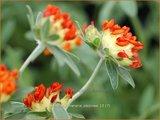 Anthyllis vulneraria coccinea | Rode Wondklaver