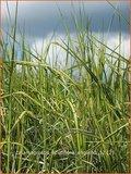 Calamagrostis acutiflora 'England' | Struisriet