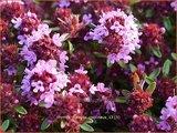 Thymus praecox 'Coccineus' | Kruiptijm, Tijm