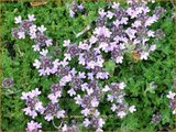 Thymus praecox 'Pink Chintz' | Kruiptijm, Tijm