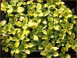 Thymus citriodorus 'Bertram Anderson' | Citroentijm, Tijm