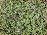 Thymus citriodorus 'Silver Queen' | Citroentijm, Tijm