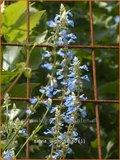 Salvia uliginosa   Salie, Salvia
