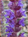 Salvia nemorosa 'Ostfriesland' | Salie, Salvia