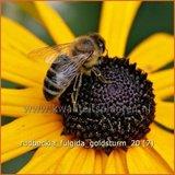 Rudbeckia fulgida 'Goldsturm' | Zonnehoed