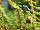 Polystichum setiferum 'Plumosum-densum' | Zachte naaldvaren