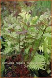 Osmunda regalis 'Purpurascens' | Koningsvaren