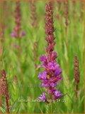 Lythrum salicaria 'Robin' | Kattenstaart | Blutweiderich